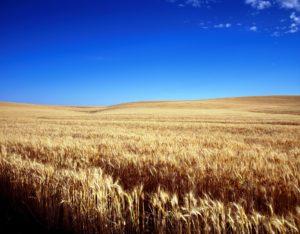 cornfield-1651379_1920